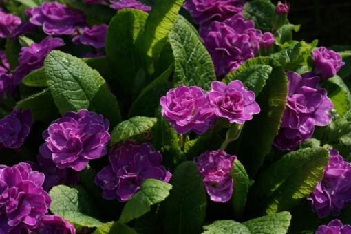 Primula 'Marie Crousse' ist eine sehr alte gefüllte Form der heimischen Schlüsselblumen Primula vulgaris.