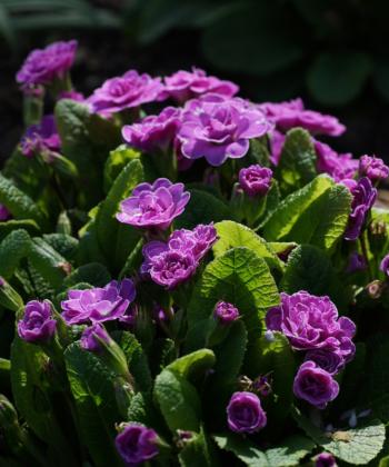 Die Schlüsselblume Primula 'Marie Crousse' ist eine pflegeleichte Staude für den Garten, die im Frühling blüht.