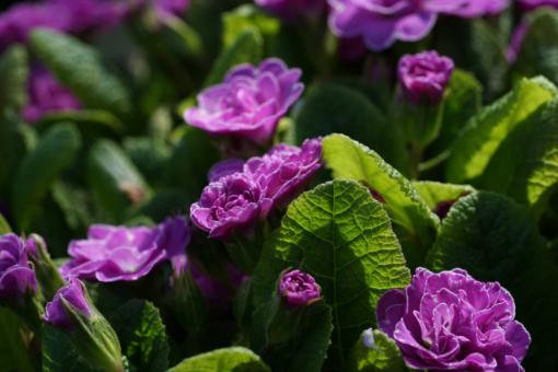 Jede einzelne Blüte von Primula vulgaris 'Marie Crousse' scheint perfekt zu sein und ich freue mich jedes Jahr aufs neue sie im Garten blühen zu sehen.