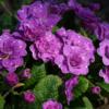 Die wunderbar altmodisch anmutenden Blütenröschen von Primula 'Marie Crousse' besitzen einen feinen weißen Rand.