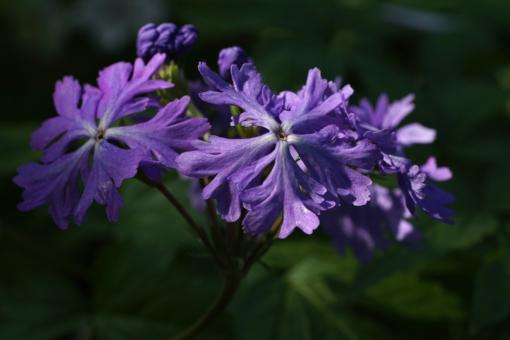 Primula sieboldii 'Frilly Blue' ist eine der wenigen Züchtungen der Japan-Primel, welche aus Europa und nicht aus Japan stammt.