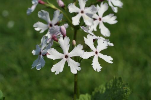Primula sieboldii 'Shiro Tombo' wächst bei uns in der Gärtnerei.