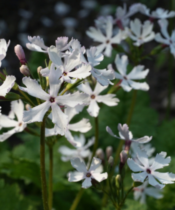 Die Japan-Primel Primula sieboldii 'Shiro Tombo' hat feine weiße Blüten, die in großer Anzahl hervorgebracht werden.