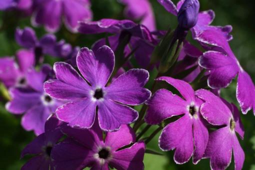"""Primula sieboldii """"Sumizome Genji"""" gehört zu den Japan-Primeln oder auch Siebolds-Primeln."""