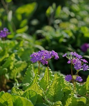 Die Japan-Primeln, wie Primula sieboldii 'Sumizome Genji', werden schon seit Jahrhunderten in Japan gezüchtet und gesammelt.