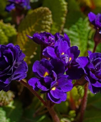 Primula 'Strong Beer' ist immergrün und besitzt wunderschöne tief blaue Blüten.