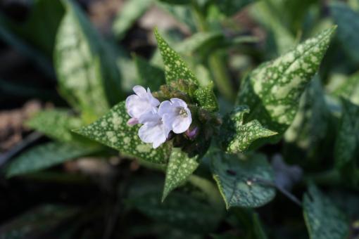 Wir finden die Blütenfarbe dieses Lungenkrautes so schön, dass wir die Pflanze unter Pulmonaria 'Gerhild Diamant' führen.