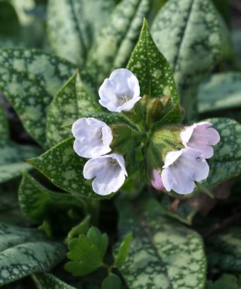 Pulmonaria 'Gerhild Diamant' hat eine ganz eigene Blütenfarbe und stammt aus der gleichnamigen Staudengärtnerei in Duisburg.
