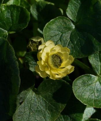 Ranunculus ficaria 'Elan' ist eine seltene Auslese.