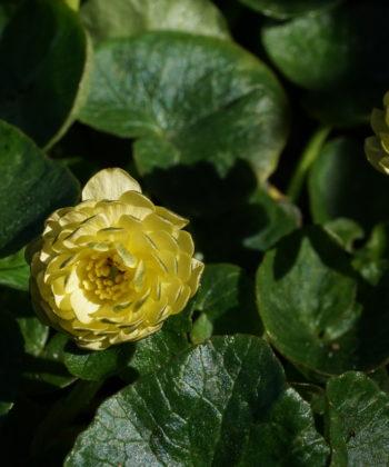 Ranunculus ficaria 'Elan' zeigt über Wochen halbgefüllten Blütenbälle.