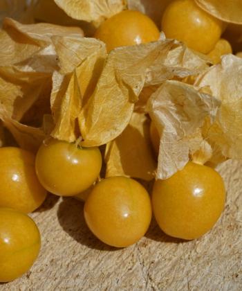 Freunde von exotischem Obst können sich auf eine reiche Ernte der Ananaskirschen (Physalis pruinosa) freuen.