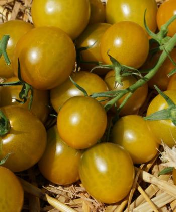 Reif sind die Tomatenfrüchte der Sorte Green Grape leicht gelblich.