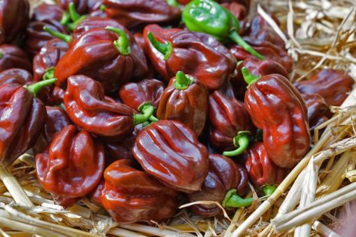 Die Habanero Chili 'Chocolate' ist bei Vollreife tief rotbraun.