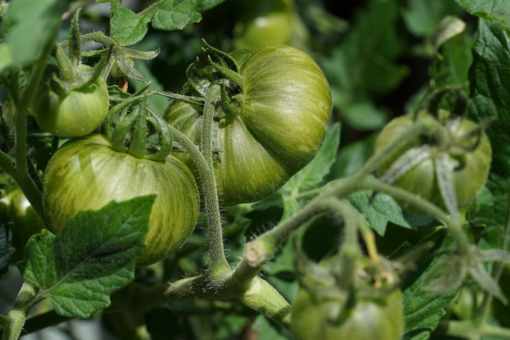 Robust und reichtragend die Tomate Golden Tiger.