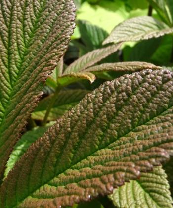 Die Blätter des Schaublattes Rodgersia 'Chocolate Wings'® färben sich später von rot-braun nach grün um.