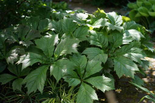 Rodgersia podophylla 'Rotlaub' ist eine ausgezeichnete Blattschmuckpflanze und ist pflegeleicht.