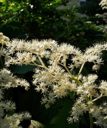 Das Schaublatt Rodgersia podophylla 'Rotlaub' hat nicht nur spektakuläre Blätter, sondern auch wunderschöne Blüten.
