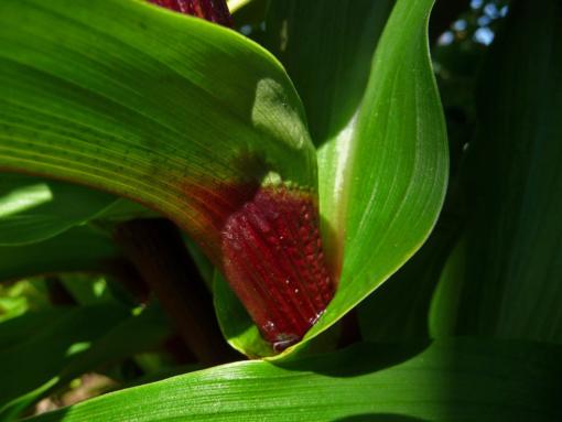 Roscoea purpurea 'Vannin' ist eine benannte vegetativ vermehrte Auslese aus Roscoea purpurea HWJK2406.