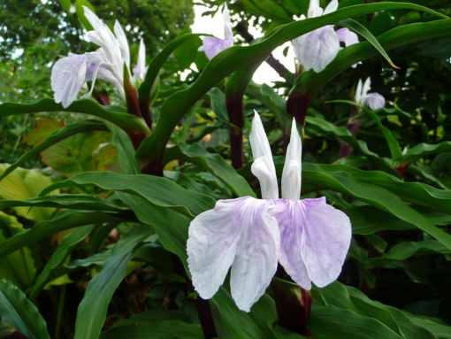 Roscoea purpurea 'Vannin' gehört zu den Ingwergewächsen und ist bei richtiger Pflanzung völlig winterhart.