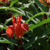 Roscoea purpurea 'Red Gurkha' (forma rubra) ist von tropischer Schönheit und die Ingwerorchidee ist völlig winterhart.