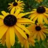 Vom Sonnehut gibt es viele verschiedene Arten. Hier: Rudbeckia fulgida var. speciosa.
