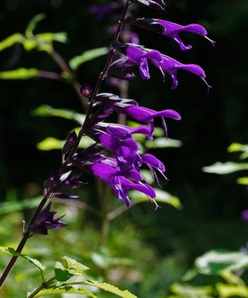 Salvia 'Amistad' ist ein beeindruckender Salbei mit großen violetten Blüten.