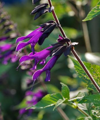 Salvia 'Amistad' wirkt wegen dem schwarzen Calyx mystisch und kann in manchen Teilen von Deutschland ausgepflanzt werden.