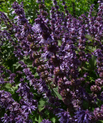 Salvia verticillata 'Hannay's Blue' ist zur Blütezeit ein prachtvoller Salbei.