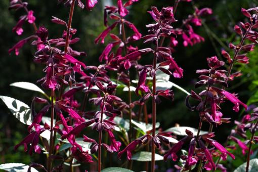 Salvia 'Love and Wishes' ist blühfreudig, farbenfroh und leuchtstark. Eine perfekte Kübelpflanze.