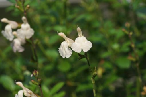 Salvia 'Misty White' ist unsere bester weißer Ziersalbei.