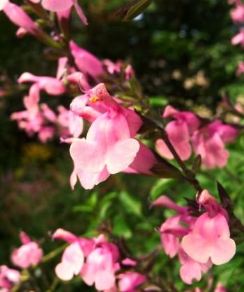 Der Ziersalbei Salvia greggii 'Stormy Pink' hat eine intensive Blütenfarbe.