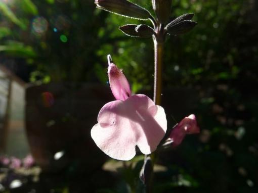Detailaufnahme des Ziersalbeis Salvia greggii 'Stormy Pink'.