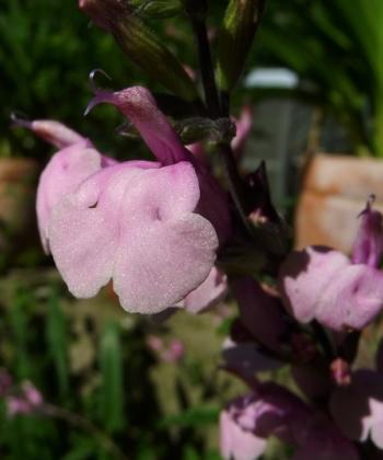 Salvia greggii 'Stormy Pink' wechselt seine Farbe ein wenig mit dem Wetter. Bei uns wächst der Salbei in einem Kübel auf der Terrasse.