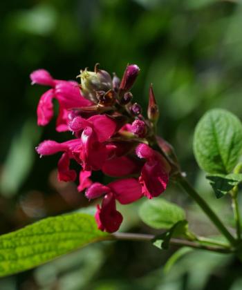 Salvia 'Juan' sorgt mit seiner frohen Farbe für tropisches Flair auf der Terasse.