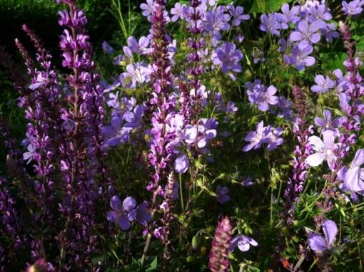 Der Steppensalbei Salvia nemorosa 'Amethyst' in Kombination mit Geranium 'Blue Cloud'.