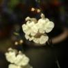 Salvia 'White Butterfly' hat meistens einen weißen Blütenschlund, der auch mal ins Violette changieren kann. Ein dankbarer Ziersalbei.