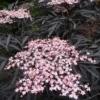 Sambucus nigra 'Black Lace' ist eine fast schwarzlaubige Form des Holunders mit rosa Blütentellern.