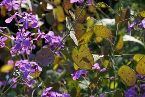 Samenstände von Lunaria annua 'Corfu Blue' im Gegenlicht.