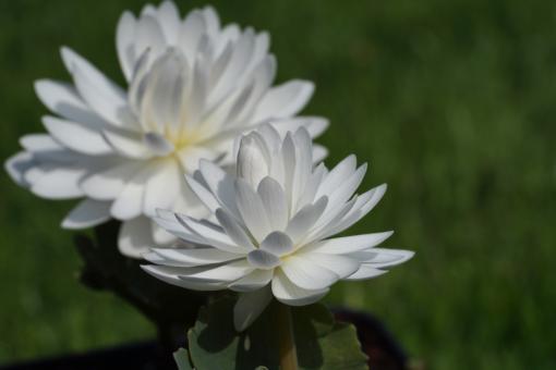 Sanguinaria canadensis 'Multiplex' hat atemberaubend schöne weiße Blüten. Ein Highlight im Garten.