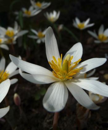 Sanguinaria canadensis stammt aus den Wäldern Nordamerikas und Kanadas. Im Garten fühlen sich die Pflanzen pudelwohl.