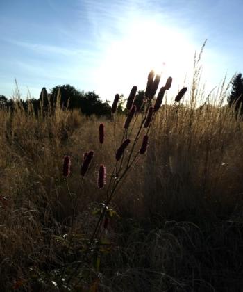 Der Wiesenknopf Sanguisorba 'Blackthorn' im Gräsermeer einer Pflanzung.