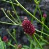 Der Wiesenknopf Sanguisorba 'Tanna' hat viele kleine Blütenköpfe.