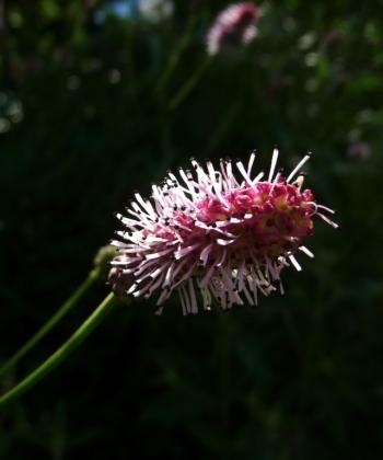 Nicht nur im Detail faszinieren schön: der Wiesenknopf Sanguisorba 'Pink Tanna'.