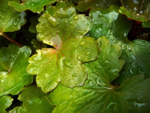 Saxifraga cortusifolia var. fortunei 'Wada' hatt sattgrüne, fleischige Blätter. Die Blattunterseite des Herbststeinbrech ist rötlich gefärbt.