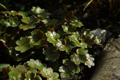 Saxifraga cortusifolia var. fortunei 'Wada' treibt bei uns im Garten im Mai aus und überzeugt mit schicken Blätter und einer atemberaubenden Blütenpracht.