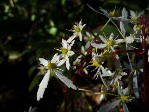Saxifraga cortusifolia var. fortunei 'Wada' trägt weiße Blüten an roten Blütenstielen. Eine der besten Pflanzen für den Schatten und Halbschatten.