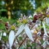 Das Steinbrechgewächs Saxifraga stolonifera 'Kinki Purple' BSWJ 4972 hat wunderschöne Blüten, welche über einem attraktiven buten Laubteppich stehen.