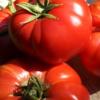 Tomate Schlesische Himbeere 3
