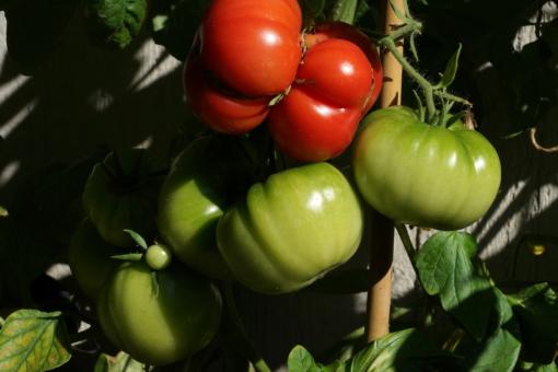 Tomate Schlesische Himbeere 2