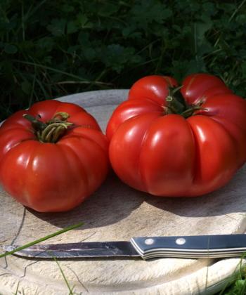 Tomate Schlesische Himbeere
